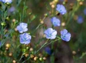 flaxplant1