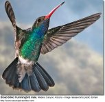 BroadbilledHummingbirdMale